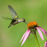 Hummingbird at purple coneflower